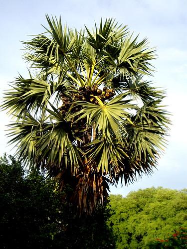 Palm Oil Tree Drawing Palm Oil Tree