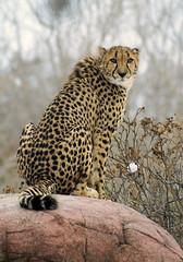 MISSED!!! (conwest_john) Tags: cheetah naturesfinest flickrsbest specanimal mywinners anawesomeshot impressedbeauty conwestjohn supershotstrong jalalspagesanimalkingdom astunningmoment