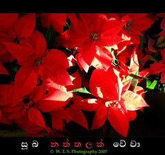 Suba Naththalak Wewa: Wish you a Merry Christmas (Thushan Sanjeewa) Tags: santa christmas light red snow december decoration newyear xmass redflower redleaves magicdonkey top20red top20everlasting nattal redbravo holidayholidayseaseon