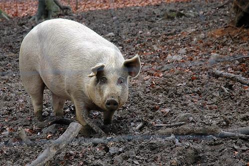 Schwein gehabt