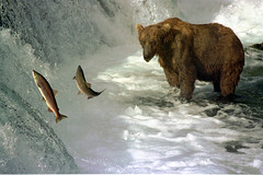 Brown bear and salmon