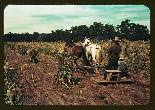 Gathering corn in the field, Pie Town, New Mexico (LOC)
