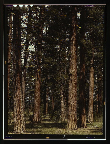 Stand of virgin ponderosa pine, Malheur National Forest, Grant County, Oregon  (LOC) / The Library of Congress