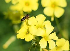 Abeja Negra Canaria (P Rubens) Tags: flower yellow closeup flor bee explore amarillo abeja apis naturesfinest incecto canon400d platinumphoto ltytr2 ltytr1 naturalfinest interesantísimo betterthangood apismellífera abejacanaria abejanegra ¡interesantísimo