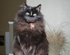 Jinx shows her true colors (steve & kristin kalning) Tags: blackcat jinx
