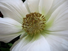 White anemone. (JannK) Tags: white flower anemone southerncalifornia excellence riversidecounty naturesfinest abigfave flickrplatinum ilovemypic brillianteyejewel photofaceoffwinner betterthangood macroflowerlovers flowersallkinds flowersarefabulous