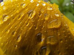 Llueve oro! (hiskinho) Tags: flower macro rain yellow gold lluvia waterdrop flickr flor amarillo gota oro transparente diamondclassphotographer flickrdiamond