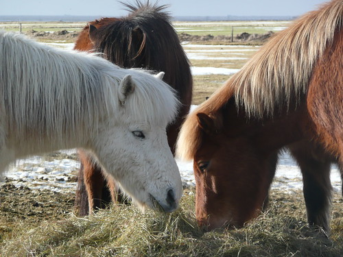 A group of Icelandic Horses eating hay outdoors in the winter; a white horse in front looking at the camera, a chestnut to the right, and a bay in the background.