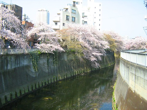 Cherry Blossoms Over Kanta River 2
