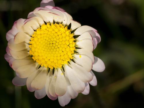 Lil' daisy