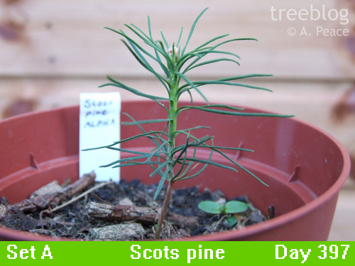 Alpha Scots pine