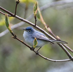 blue-gray gnatcatcher (Linda Strickland) Tags: bird chicagobotanicgardens bluegraygnatcatcher