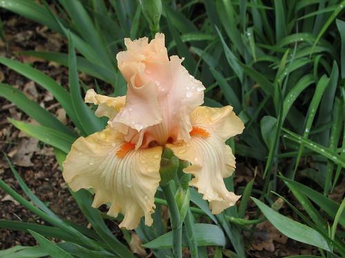Iris 'Feminine Fire'