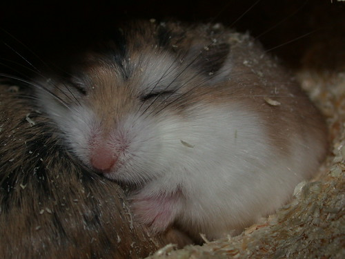 Tac using Tic as a pillow! by roborovski hamsters.