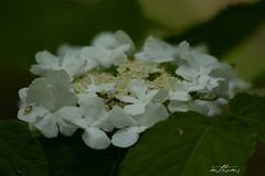 White Bundle (Kadacat (Marlene)) Tags: flowers white spring bloom hydrangea gatineaupark naturesfinest blueribbonwinner canon30d diamondclassphotographer flickrdiamond kadacat