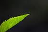 pastora:quan es faci fosc (visualpanic) Tags: life light plant black macro green planta hoja luz nature backlight contraluz leaf natura vida 2008 llum fulla contrallum osona maig viladrau mywinners
