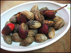 Seeds of Adonidia merrillii (Christmas/Manila Palm) collected for propagation
