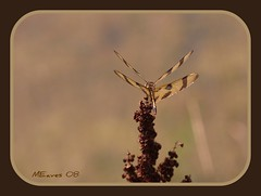 DF 8508 6 (MEaves) Tags: nature bug insect pentax dragonfly aficionados odonata halloweenpennant sigma105mm k10d pentaxk10d macromarvels