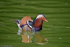 Anatra Mandarina _006 (Rolando CRINITI) Tags: anatramandarina uccelli uccello birds ornitologia villaserra genova