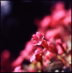 the blaze of noon (moaan) Tags: life light red sunlight flower color 120 6x6 sunshine mediumformat flora dof shine bokeh tint neighborhood squareformat utata bloom flowering blaze hue 2009 f28 rvp100f planar blooming florescence vicinity 80mm blazing carlzeiss inbloom hasselblad500cm efflorescence fujivelvia100f floriculture inlife extension32e extension16e carlzeissplanarc80mmf28 gettyimagesjapanq1 gettyimagesjapanq2