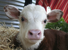 Sweety (gooseflesh) Tags: pet love cow you harry harriet if hurry hereford heifer