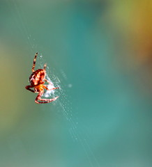 """Araneus diadematus"" (bugman11) Tags: macro nature animals fauna canon bug insect spider spiders nederland thenetherlands insects bugs 1001nights araneusdiadematus greatphotographers photographyrocks flickrestrellas beautifulmonsters 100mm28lmacro"