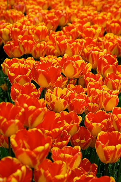 topkapi - tulips