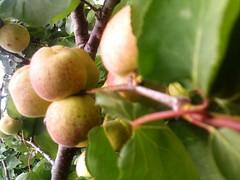 Abricots  (Jamal Elkhalladi) Tags: nature morocco maroc milli abricots  hassi   berkane   triffa