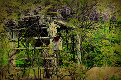 Aged Garden Arbor (Singing Like Cicadas) Tags: flowers ohio stilllife texture rural garden outdoors spring purple processing wisteria oldfashioned tangled 2011 portagecounty ruralohio mogadore nikond90 adjectives101 odc3