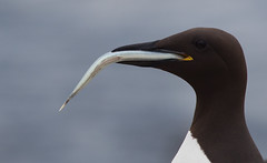 Guillemot (Photography by Clare Scott) Tags: scott photography islands clare farne guillemot 2011