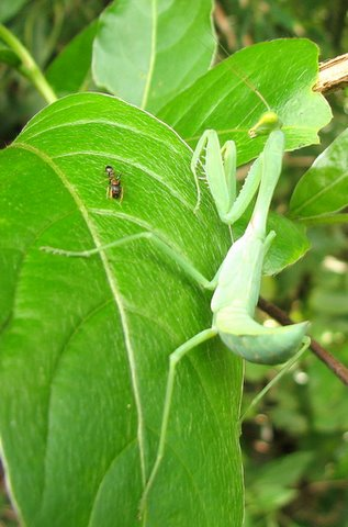 The Ant And The....Preying Mantis! Bhadra 041107