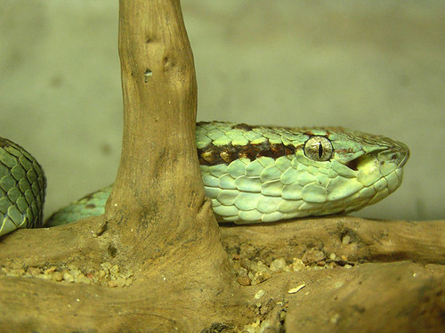 pit viper snake in the bamboo grove