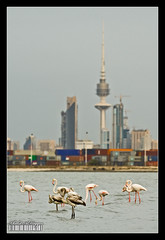 Nature vs industry (Khalid AlHaqqan) Tags: city sea bird tower industry beach nature birds modern skyscraper port canon lens 350d is zoom flamingo flamingos container telephoto kuwait usm liberation khalid ef 100400mm containers q8 vwc f4556l alhaqqan kuwaitartphoto
