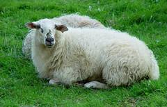De los champiñones a las ovejas