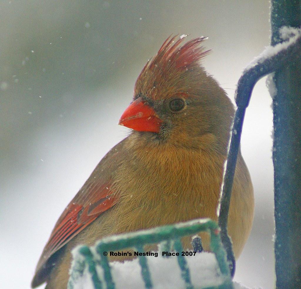 Cardinal-copyright