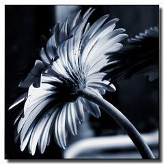 Have a wonderful day (Maureen F.) Tags: petals bravo textures gerbera toned magicdonkey 25faves christmasday2007 infinestyle diamondclassphotographer merrychristmasdearfriend