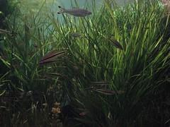 stripped fish (mr_skot) Tags: montereyaquarium mrskot