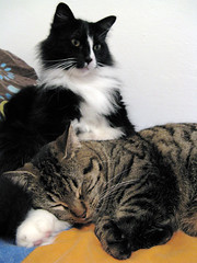 Mosie's lap (veganmichele) Tags: friends portrait rescue pet sun cute sunshine animal cat tabby stripe adorable kitty pals tuxedo spca feral efa coolestphotographers