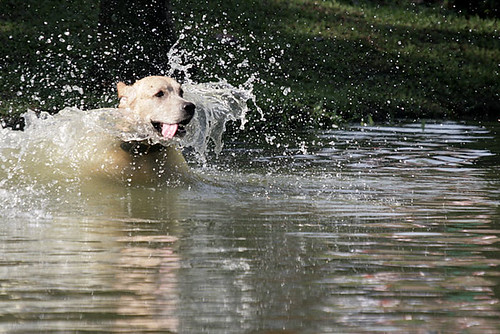 Labrador enjoying the water