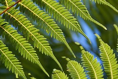 Tip to Tip (pusspaw) Tags: newzealand fern green beautiful forest walking top20np bush pretty auckland tips layers endtoend challengeyouwinner 3waychallenge 3waygreen top20np20 pusspaw