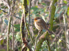 Robin in Russia Dock Woodland