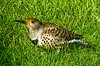 Red Shafted Flicker -- 1010926 (Lance & Cromwell back from a Road Trip) Tags: nature birds oregon coast woodpecker pacific northwest wildlife flicker redshaftedflicker naturescall ishflickr mothernatureatherbest