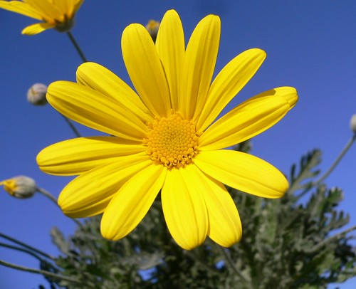 Shining Yellow Daisy (Euryops) by Luigi FDV.