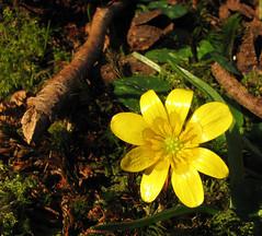Celandine in February sun