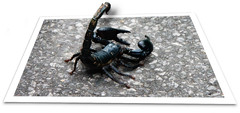 Scorpion, Koh Chang - Thailand (Michael LaPalme) Tags: sting scorpion kohchang arachnida venom arthropod oob eightlegged telson neurotoxic
