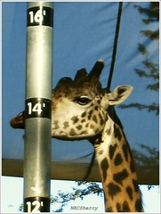 Almost 15 feet. (NKC@berry (Away)) Tags: california animals zoo sandiego giraffe sandiegozoo  ysplix