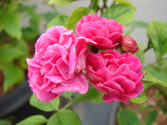 pink roses (abhinav_natarajan) Tags: pink flower macro up rose close bunchofflowers flowerpicturesnolimits