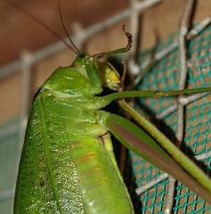 Katydid preening (Ben Ferraro) Tags: belize katydid