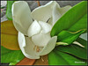 Magnolia flower (Queen Tiye) Tags: white plant flower nature bulgaria magnolia balchik naturesfinest prinzesabg