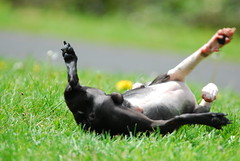 When its gone, its gone (RichSeattle) Tags: dog boston puppy nikon friend play sam balls run best terrier d200 dedicated companion scrotum neuter testicle 80400vr richseattle lastdayintact